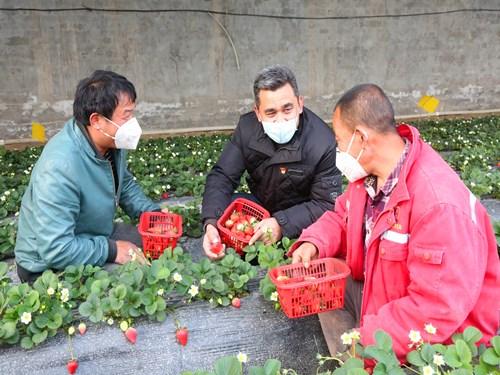 """轮台县:""""绿色通道""""上的草莓热销忙"""