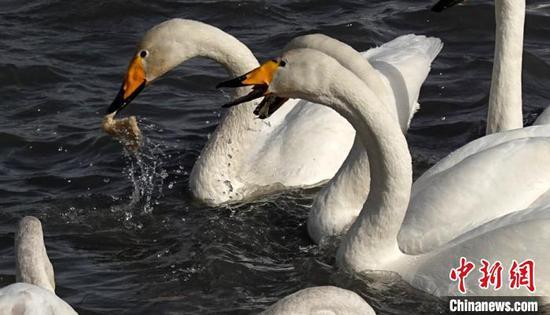 新疆庫爾勒市民為野生天鵝在遷徙前補充體能
