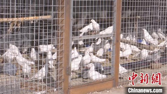 新疆和靜縣額勒再特烏魯鄉察汗烏蘇村肉鴿養殖繁育基地。 毛阿拉騰圖 攝