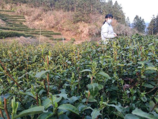 茶叶是龙溪的主导产业之一  吴志华 摄
