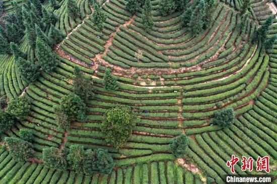 """航拍贵州丹寨龙泉镇马寨村""""扶贫茶园"""",村民在采摘茶叶。 黄晓海 摄"""