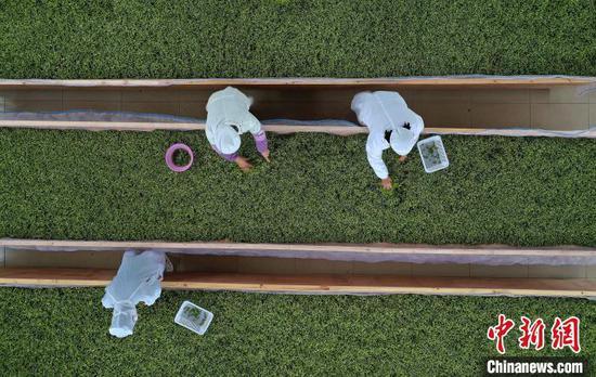 航拍贵州丹寨金钟经济开发区华阳茶业加工车间,工人在风槽上摊晾茶青。 黄晓海 摄