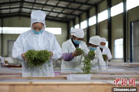 贵州丹寨金钟经济开发区华阳茶业加工车间,工人在风槽上摊晾茶青。 黄晓海 摄