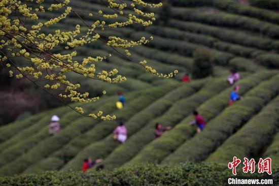 """贵州丹寨龙泉镇马寨村""""扶贫茶园"""",村民在采摘茶叶。 黄晓海 摄"""