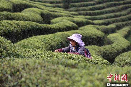 """贵州丹寨龙泉镇马寨村""""扶贫茶园"""",一名村民在采摘茶叶。 黄晓海 摄"""