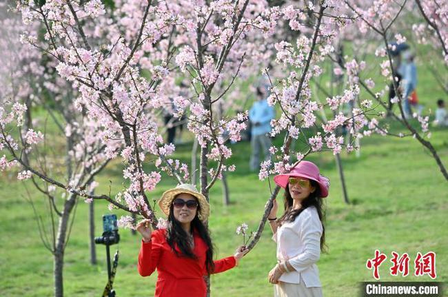 广西南宁数百亩樱花绽放引游人