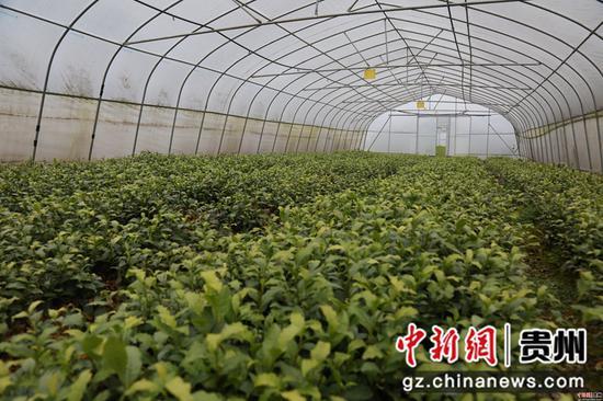 对坡镇大堡社区茶叶育苗大棚 张广为摄