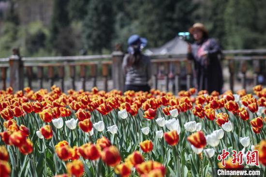 公园内盛开的郁金香。 瞿宏伦 摄