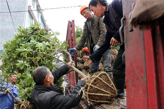 兰溪工人和农民装运杨梅苗。  胡志伟摄