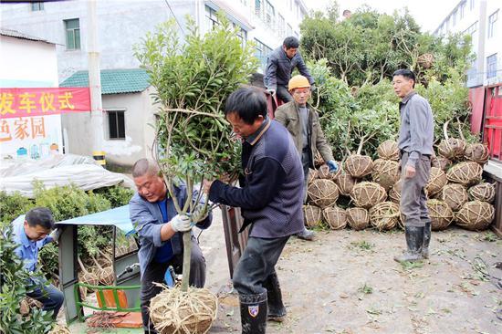 兰溪工人和农民搬运杨梅苗。 胡志伟摄