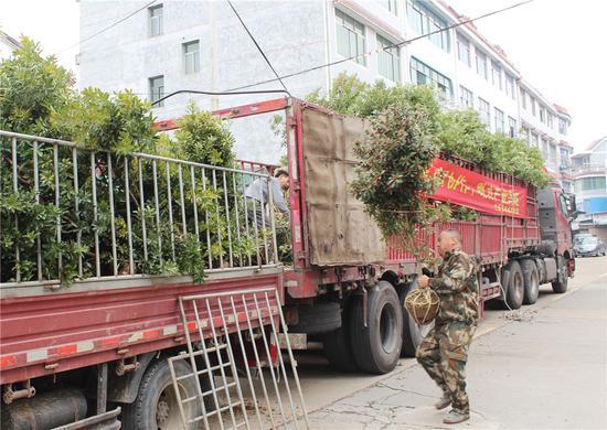 2400棵杨梅大苗被运上了大货车。 胡志伟摄