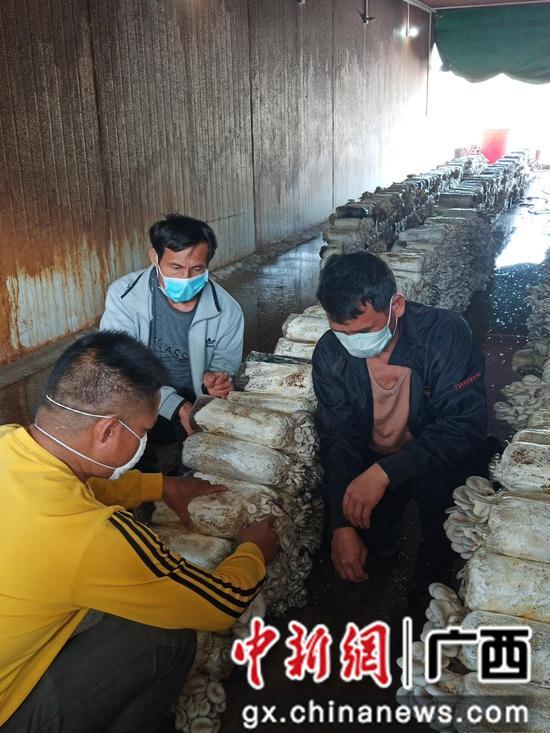 技术人员指导工人采摘姬菇。