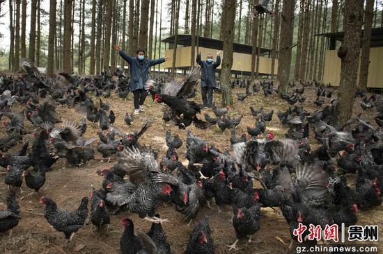 新州镇槐花村林下养殖的芦花鸡与饲养员吴江平摄