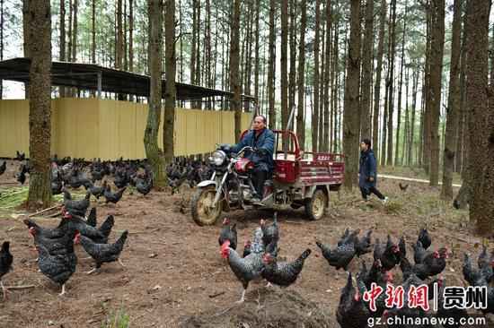 饲养员正在拉鸡食来喂鸡 吴江平摄