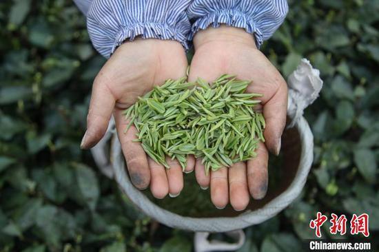 贵州湄潭的茶农在展示采摘的茶青。 瞿宏伦 摄