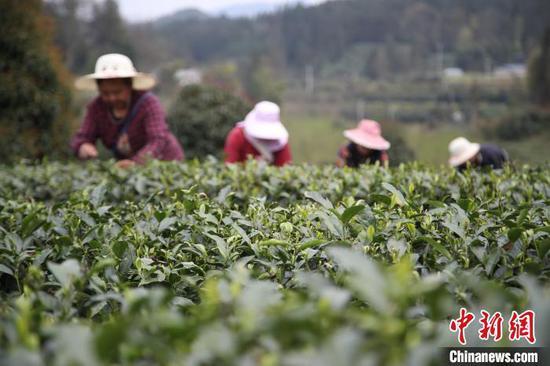 贵州湄潭的茶农在茶园采摘春茶。 瞿宏伦 摄