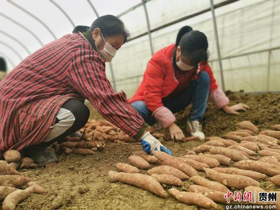 工人们正在给红薯育苗。孙磊  摄