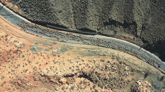 新疆南部县域春季转场正在进行时 漫长的200公里迁徙
