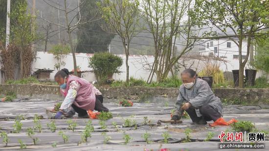 村民们正移栽玫瑰花苗