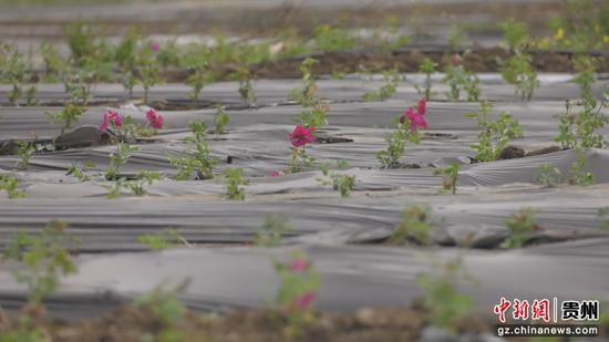 食用玫瑰种植基地一览