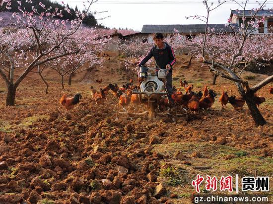 种植户李复元在忙于林下翻犁,为桃树施肥作准备
