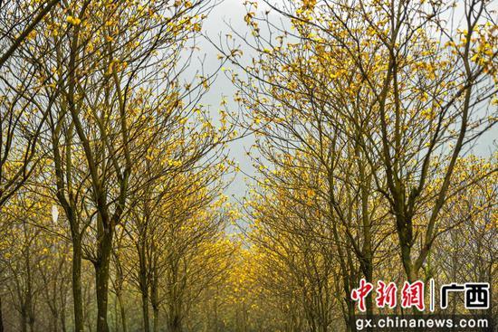 广西鹿寨黄花风铃木染黄山坡