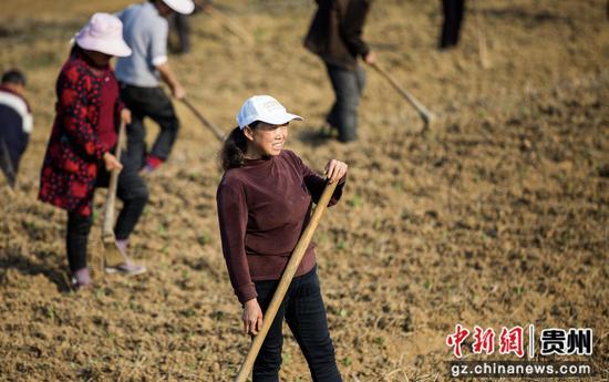 图为农民正在耕种百合育苗