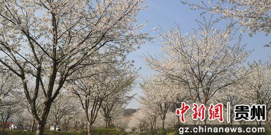 贵州贵定云雾樱花美如画