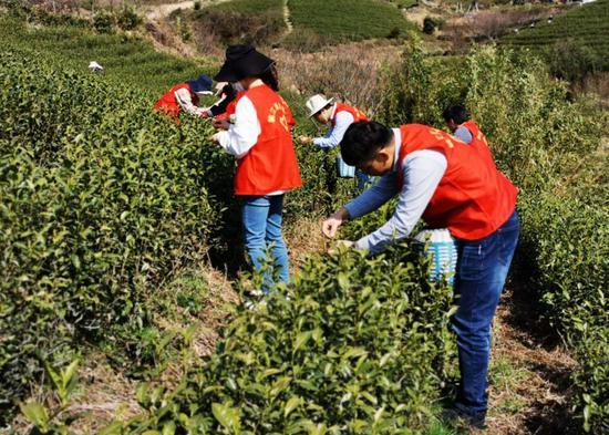 志愿者幫助采茶 余姚宣傳部供圖