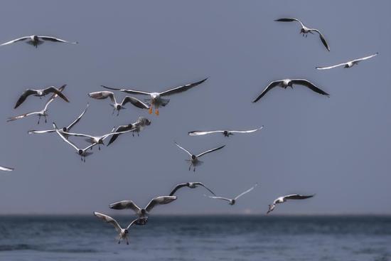 博斯腾湖推冰融化 海鸥起舞湖面