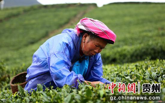 云雾镇鸟王村村民在采茶