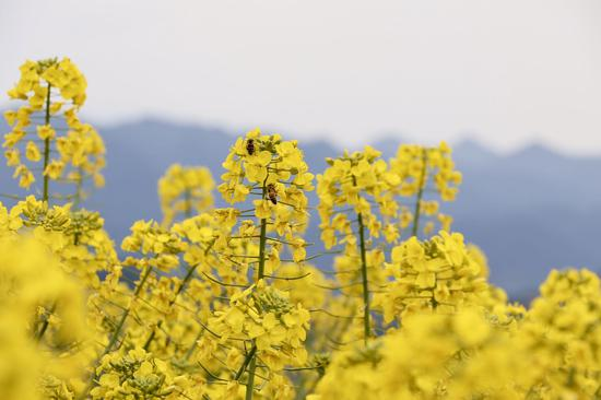 杭州富阳黑顶山油菜花。  钱晨菲 摄