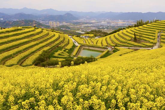杭州富阳黑顶山油菜花海。  钱晨菲 摄
