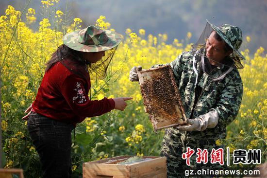 贵州省毕节市黔西县雨朵镇登高社区科技副主任方平在花间查看储蜜情况。