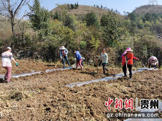 马厂社区村民在种植南瓜