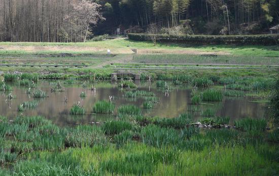 皎口水库复合生态湿地水草丰美。  王刚 摄