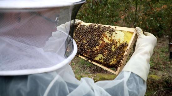 蜂农观察蜂脾储蜜情况 泰顺宣传部供图