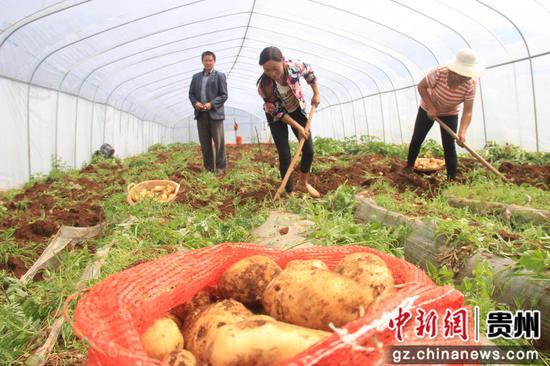 威宁自治县炉山镇可界河畔种植的早熟马铃薯 陈武帅 摄