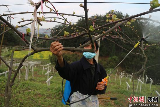 贵州清镇:千亩猕猴桃 托起致富梦