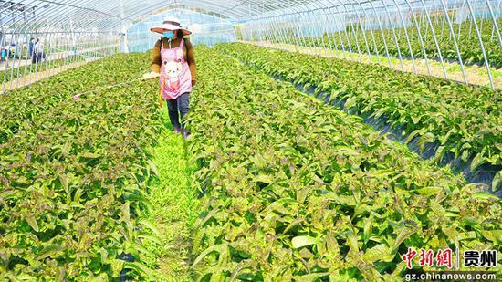 泰丰公司大棚蔬菜基地