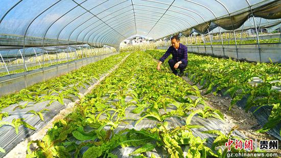 远大公司红叶莴笋大棚种植基地