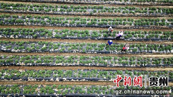 3月25日,在四川省榕江县车江大坝蔬菜基地,村民在田间劳作  王炳真 摄