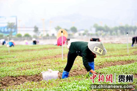 3月25日,在四川省榕江县车江大坝蔬菜基地,村民在田间劳作。  王炳真 摄