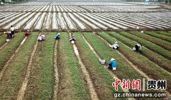 3月25日,在四川省榕江县车江大坝蔬菜基地,村民在田间劳作  王炳真摄