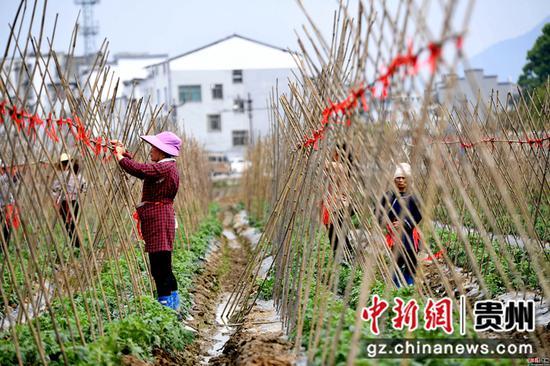 3月25日,在四川省榕江县车江大坝蔬菜基地,村民在搭西红柿架。