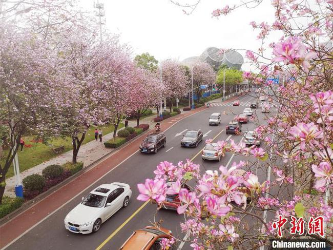 柳州市二十余万株洋紫荆盛开 民众赏花游玩