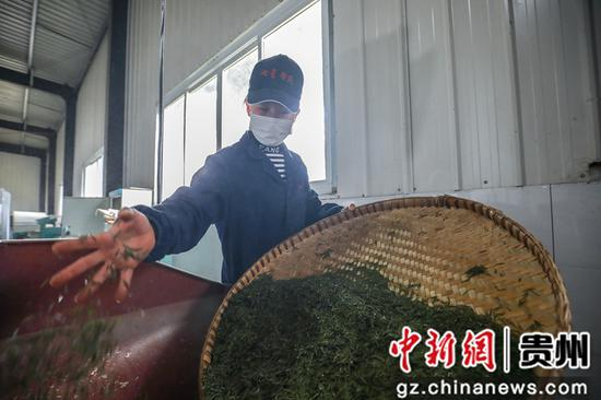 3月27日,七星奢府茶叶有限公司员工正在加工茶叶  陈曦摄