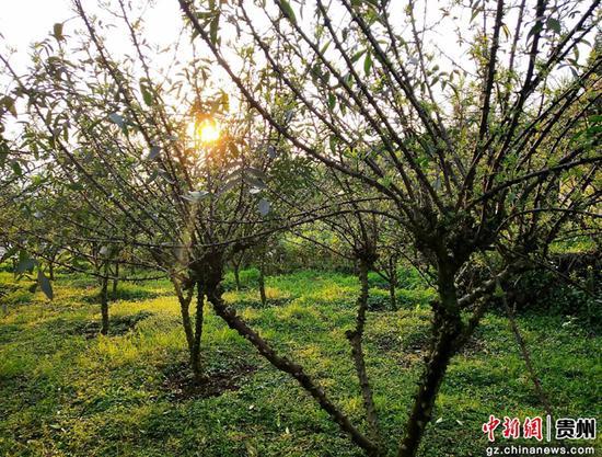 """贵州习水二郎:我在春天种""""太阳"""""""