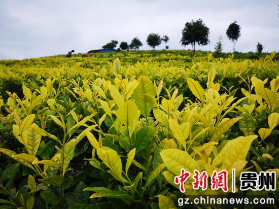 和平村黃金茶
