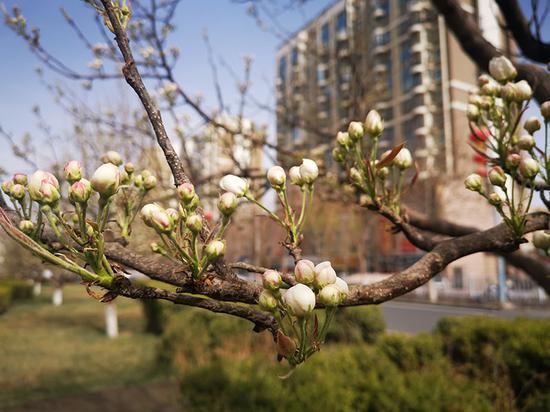 新疆库尔勒:静静陌上开 梨花香如故